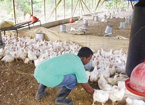 職業訓練所の研修を受けて社会復帰プログラムとして鶏の飼育に取り組む受刑者