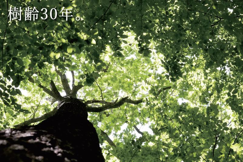 樹齢30年。